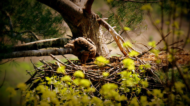 Baby Eagle 2014 not so little
