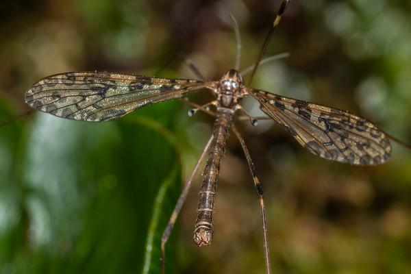 Austrolimnophila lambi
