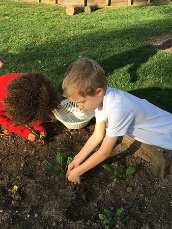 Harvesting and Eating Spinach in PreKD
