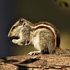 Indian Palm squirrel or Five striped Palm squirrel (Funambulus pennanti) in a tree on hind legs
