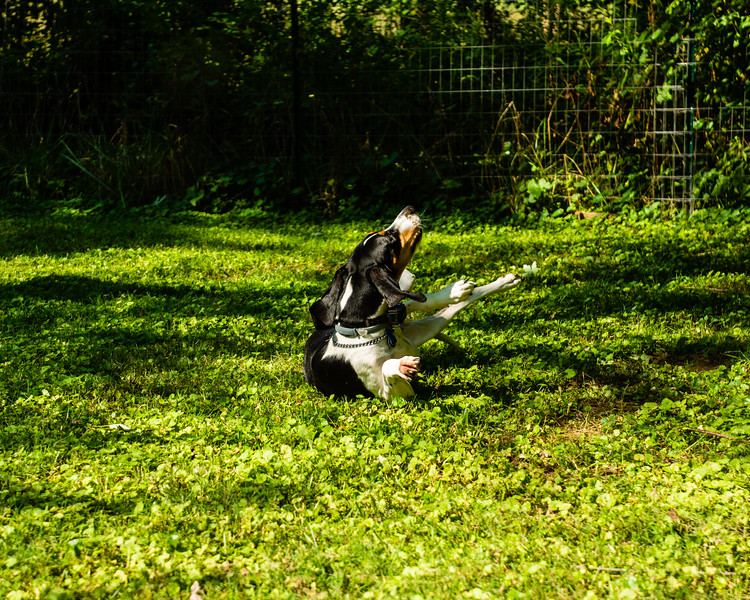 Stella, the treeing walker coon hound, rolls around in the yard in Deep Creek, September 20, 2018. (Joseph Forzano / Deep Creek Films)