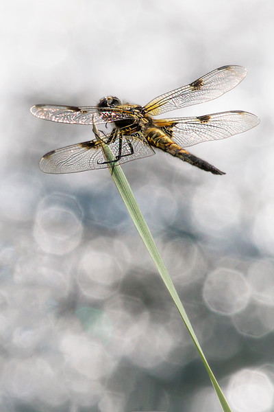 Four Spotted Chaser (Vierfleck)