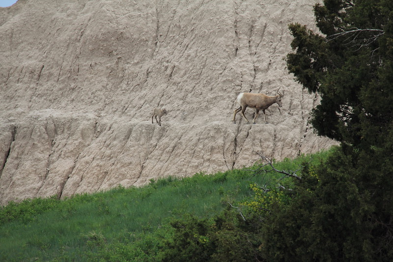 20140523-161-BadlandsNP-MountainGoats.JPG