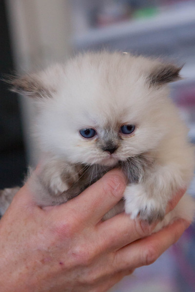 Himi_Kittens_Nov30-8228.jpg
