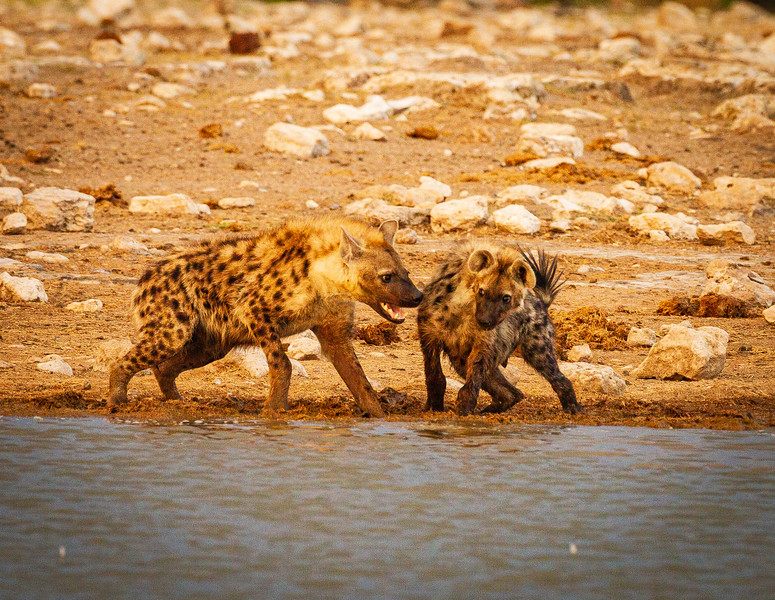 Spotted Hyaena argument 2