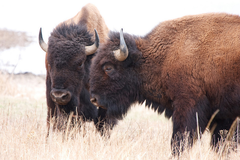 American Bison-16