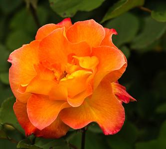 Roses - Municipal Garden 2016