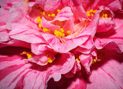 Planting Fields Camellia