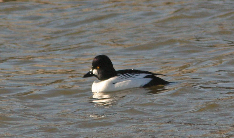 Greater Scaup female   (Shollenberger)