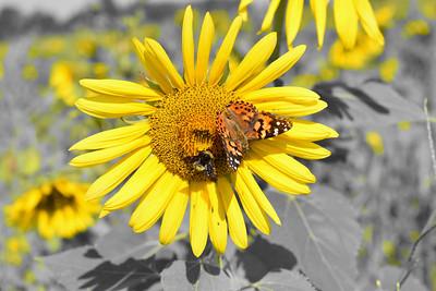 Agricenter Sunflower Field