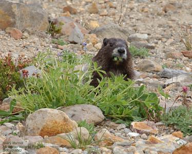 Hoary Marmot 8062.jpg