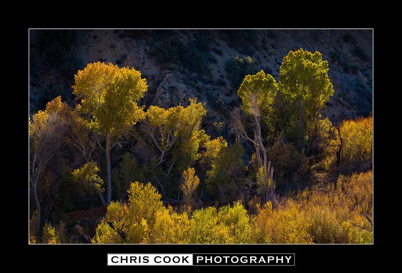 desert-cottonwoods.jpg