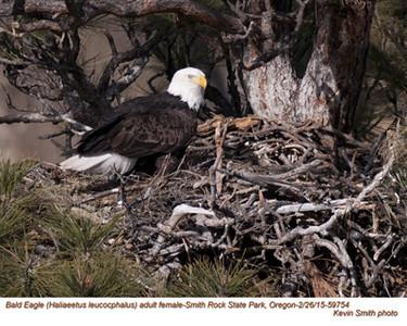 Bald Eagle F59754.jpg