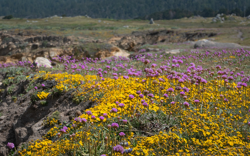 California Seapinks and Perennial Goldfields