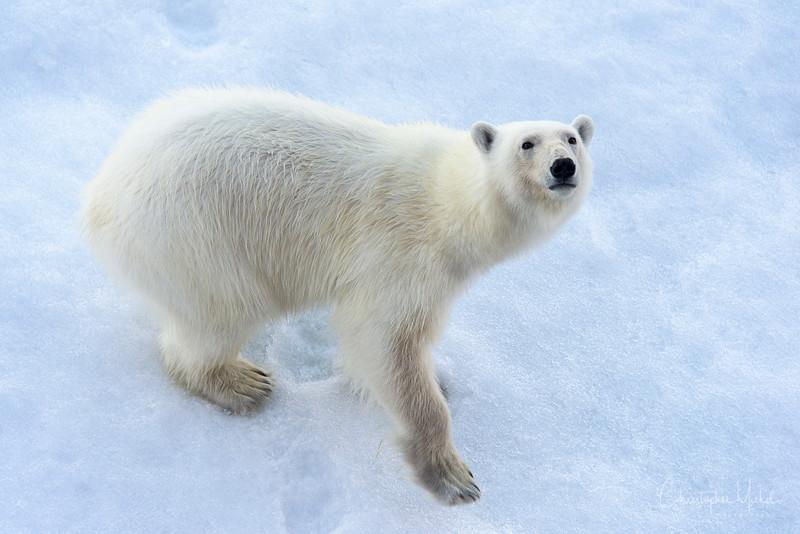 polar bear looking up.jpg