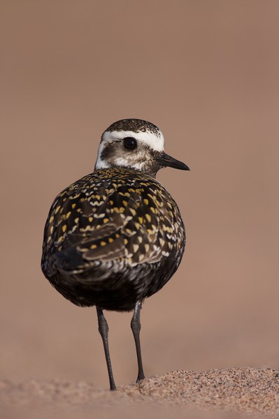 An American Golden-Plover with nearly adult plumage stops over on Lake Superior on its way to Arctic breeding grounds [May; Park Point, Duluth, Minnesota]