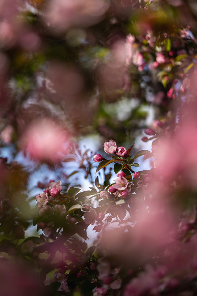 pink crabapple tree blossoms framed by other branches
