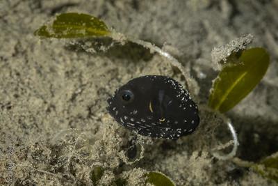 FISH - pufferfish-5519-Edit-Edit