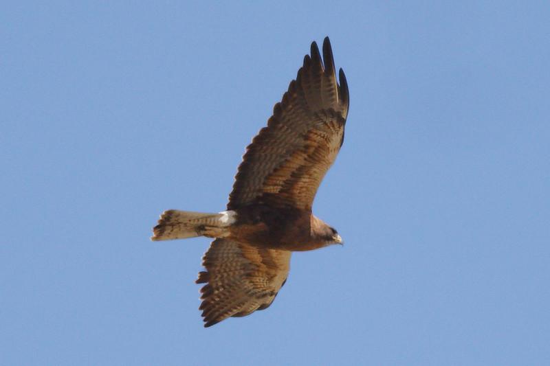 Swainson's Hawk dark morph adult (3) at Firebaugh, CA (07-18-2009)