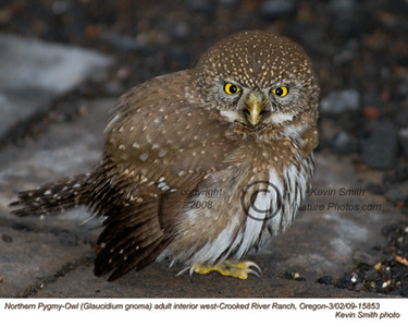 NorthernPygmyOwl15853.jpg