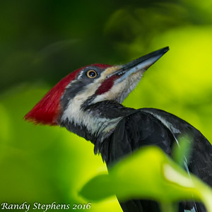 Pileated Woodpecker's Monte Santo 2016