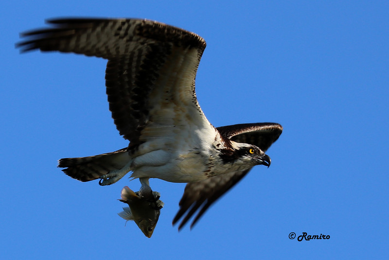Osprey with fish IMG_1083.jpg