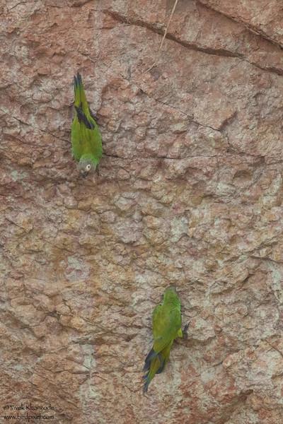 Dusky-headed Parakeet - Amazon, Ecuador