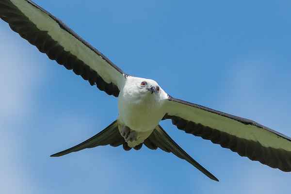 Melon Field Swallow-tailed Kite Show 2015