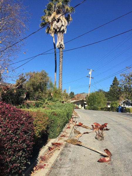 Palm tree after wind storm of Dec 4, 2017