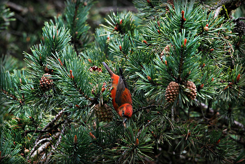 Red Crossbill  Seattle, WA