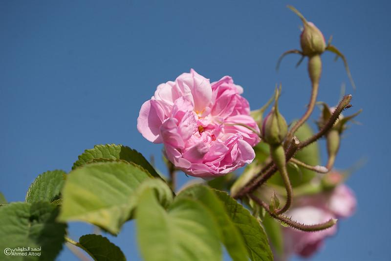 Roses Water (69)-Aljabal Alakhdhar-Oman.jpg