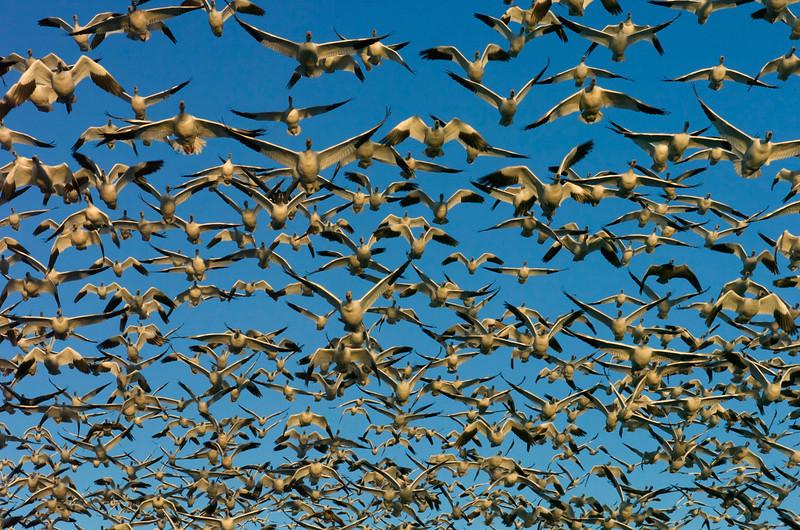Snow Goose In-Flight #6 0716749