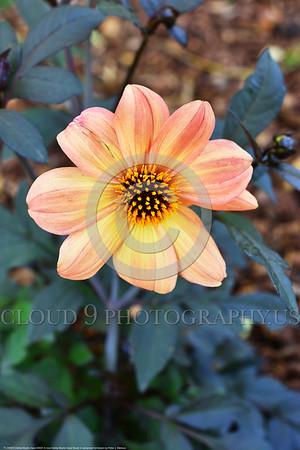 Dahlia Mystic Haze Flower Pictures