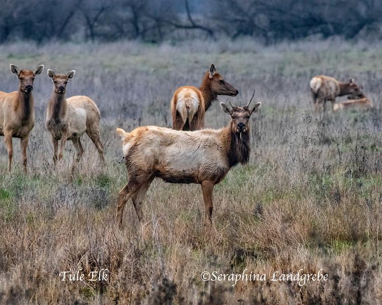 _DSC7766Tule Elk herd.jpg