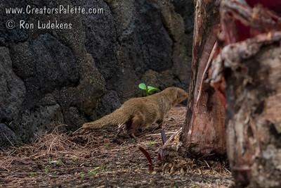 Javan Mongoose (Herpestes javanicus)