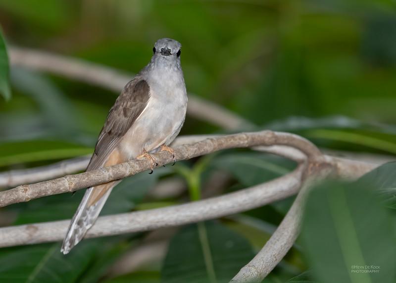 Brush Cuckoo, Townsville, QLD, Jan 2020-5.jpg