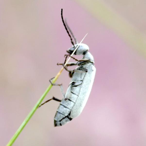 P161EpicautaSpBeetle854 Oct. 20, 2016  9:12 a.m.  P1610854 Side view of an Epicauta species Blister beetle at LBJ WC.