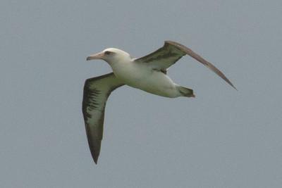 Laysan's Albatross