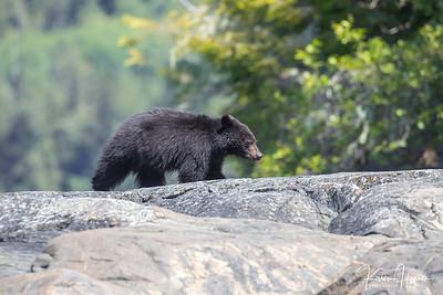 Black Bears - Tofino