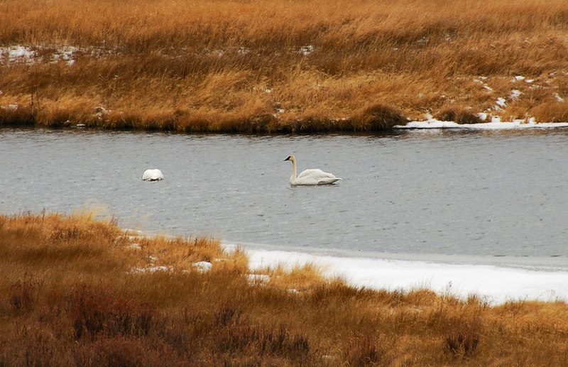 Trumpeter Swan   (Dec 12, 2006, 02:29pm)