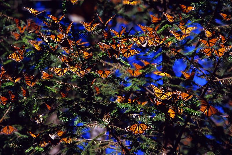 Oyamel Fir Tree Cluster