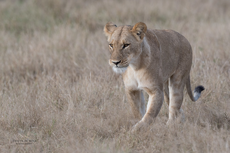 African Lion, Savuti, Chobe NP, Botswana, May 2017-22.jpg