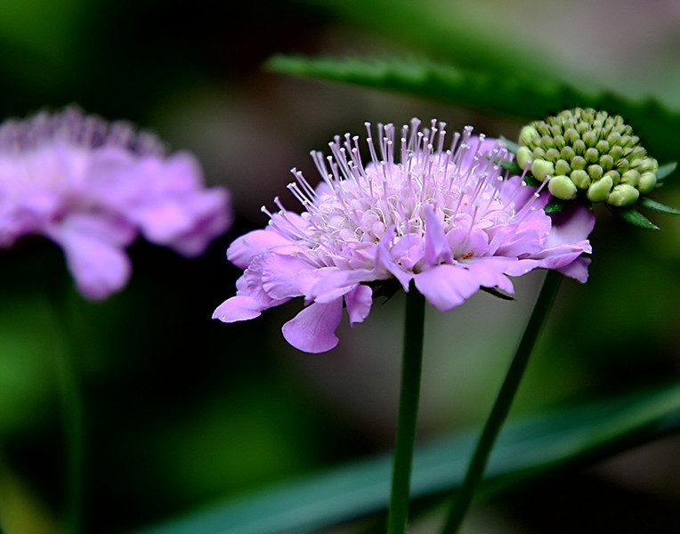 Pin Cushion Flower (Scaveola)