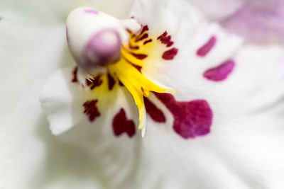 Intimate Orchids