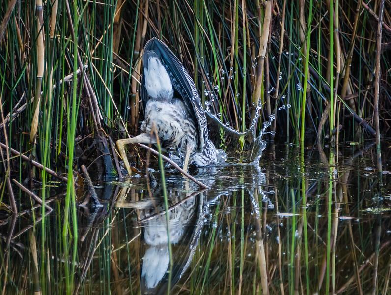 Night Heron Splash 2 082717-1.jpg