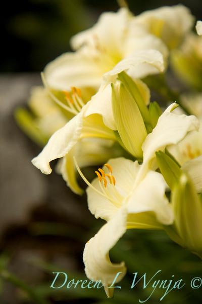 Hemerocallis x Joan Senior_016.jpg