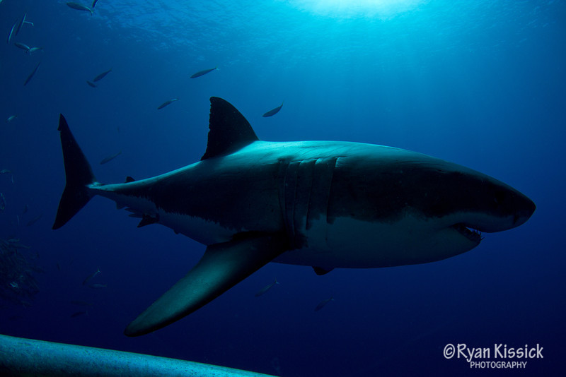 Great White Shark next to cage