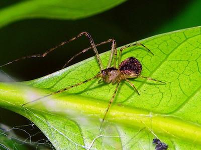family Mimetidae - Pirate Spiders