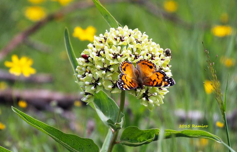Butterfly 4-20-15 174.jpg