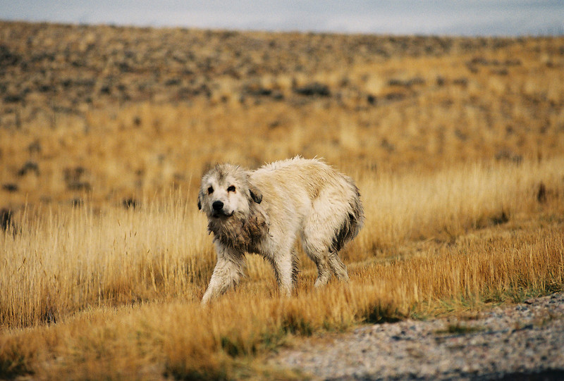 I found this dog running through the countryside while I was taking photos of the horses.  Wyoming.2004.